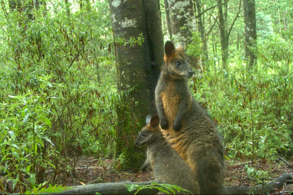 A dark brown and tan wallaby and her baby standing at at the foot of a tree